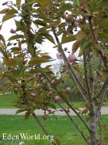 Kwanzan Japanese Flowering Cherry Tree With Pink Buds
